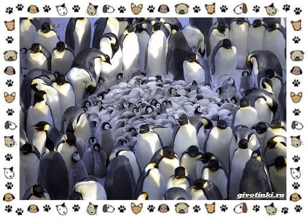Виды-пингвинов-особенности-места-обитания-взаимоотношения-с-человеком-1