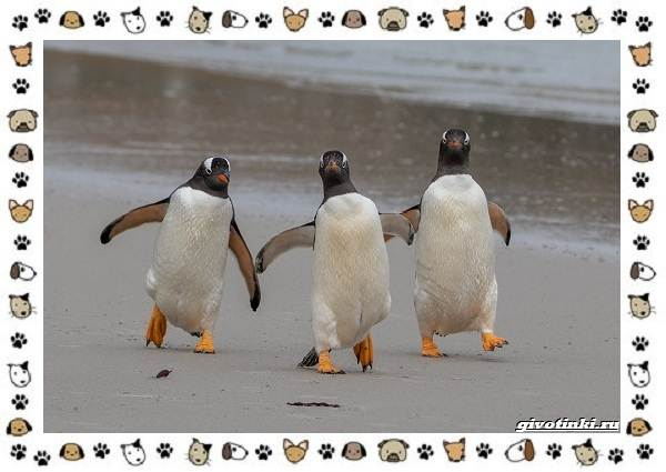 Виды-пингвинов-особенности-места-обитания-взаимоотношения-с-человеком-10