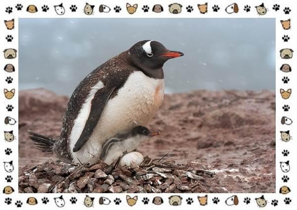 Виды-пингвинов-особенности-места-обитания-взаимоотношения-с-человеком-11