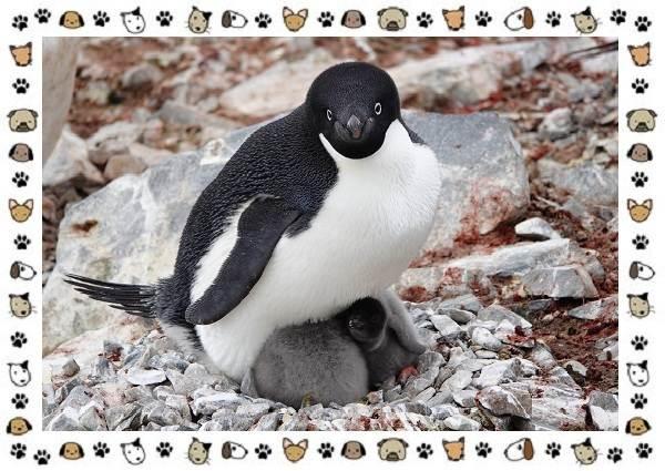 Виды-пингвинов-особенности-места-обитания-взаимоотношения-с-человеком-12
