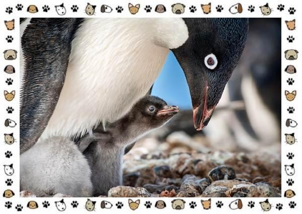 Виды-пингвинов-особенности-места-обитания-взаимоотношения-с-человеком-13
