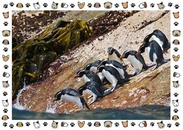 Виды-пингвинов-особенности-места-обитания-взаимоотношения-с-человеком-15