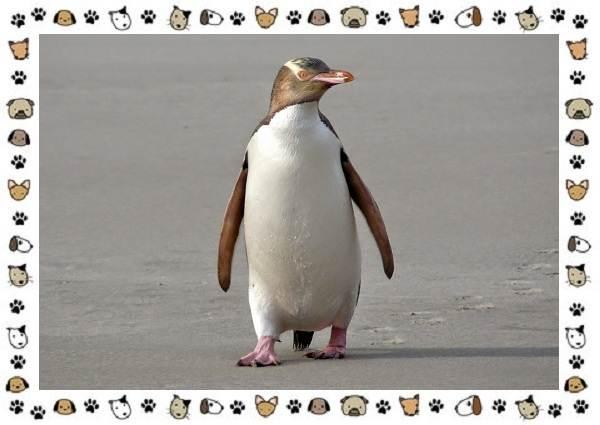 Виды-пингвинов-особенности-места-обитания-взаимоотношения-с-человеком-19