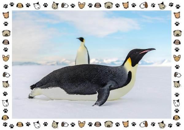 Виды-пингвинов-особенности-места-обитания-взаимоотношения-с-человеком-20