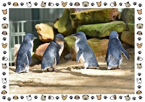Виды-пингвинов-особенности-места-обитания-взаимоотношения-с-человеком-22