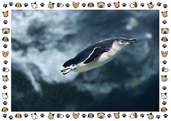 Виды-пингвинов-особенности-места-обитания-взаимоотношения-с-человеком-23
