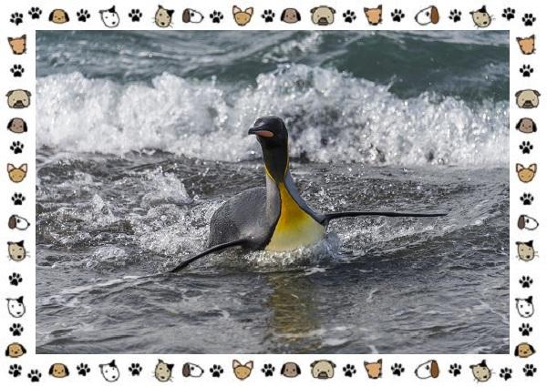 Виды-пингвинов-особенности-места-обитания-взаимоотношения-с-человеком-24