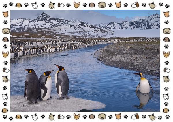Виды-пингвинов-особенности-места-обитания-взаимоотношения-с-человеком-25