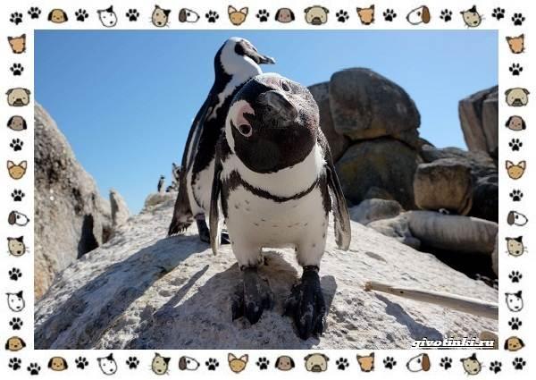 Виды-пингвинов-особенности-места-обитания-взаимоотношения-с-человеком-3