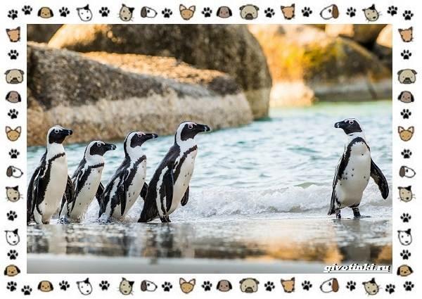Виды-пингвинов-особенности-места-обитания-взаимоотношения-с-человеком-4