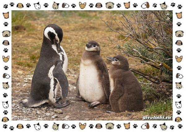 Виды-пингвинов-особенности-места-обитания-взаимоотношения-с-человеком-5