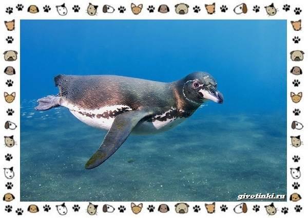 Виды-пингвинов-особенности-места-обитания-взаимоотношения-с-человеком-6