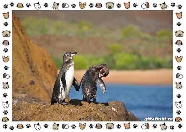 Виды-пингвинов-особенности-места-обитания-взаимоотношения-с-человеком-7