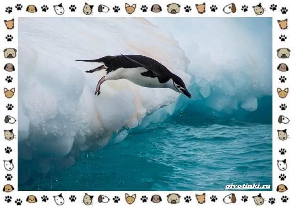 Виды-пингвинов-особенности-места-обитания-взаимоотношения-с-человеком-8