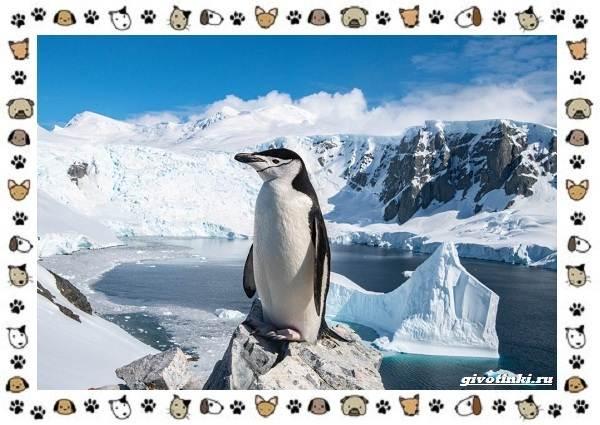 Виды-пингвинов-особенности-места-обитания-взаимоотношения-с-человеком-9