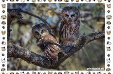 Виды сов, их особенности, названия и ареал обитания
