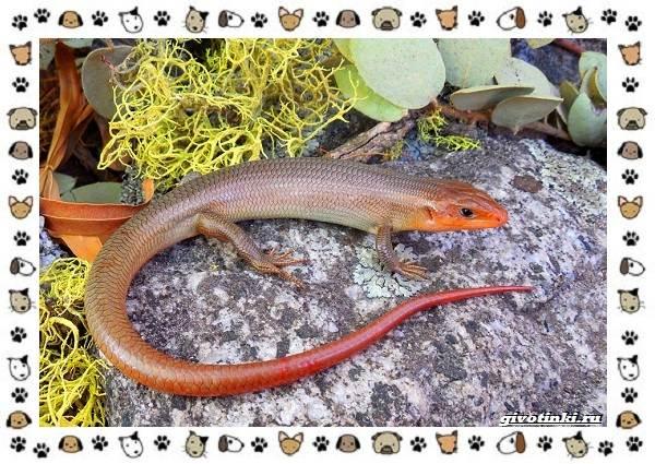 Виды-ящериц-многообразие-в-природе-поведение-особенности-10