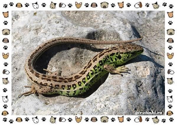 Виды-ящериц-многообразие-в-природе-поведение-особенности-2