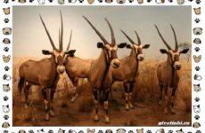 Виды антилоп: описание, классификация, место в экосистеме