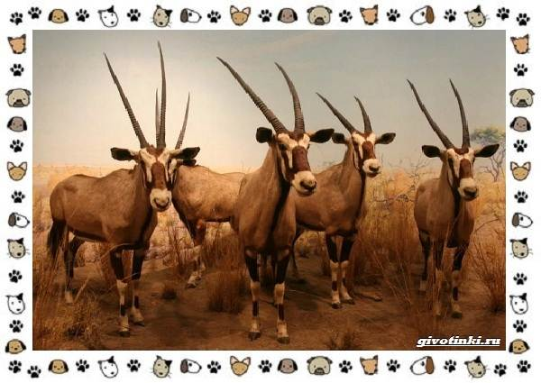 Виды-антилоп-описание-классификация-место-в-экосистеме-1