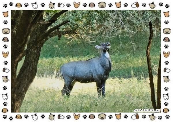 Виды-антилоп-описание-классификация-место-в-экосистеме-10