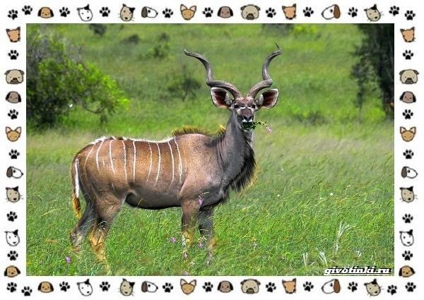 Виды-антилоп-описание-классификация-место-в-экосистеме-14