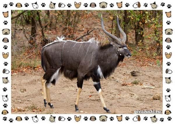 Виды-антилоп-описание-классификация-место-в-экосистеме-16