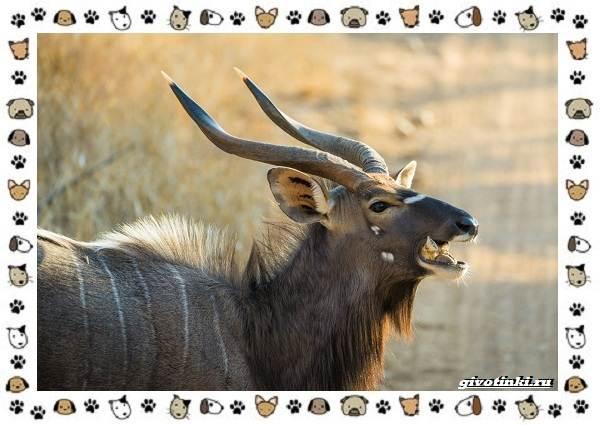 Виды-антилоп-описание-классификация-место-в-экосистеме-17