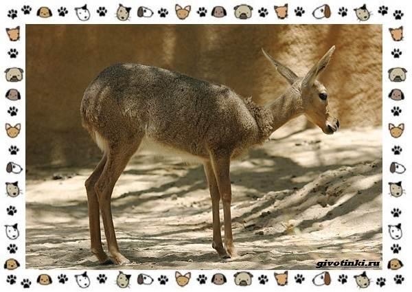 Виды-антилоп-описание-классификация-место-в-экосистеме-18