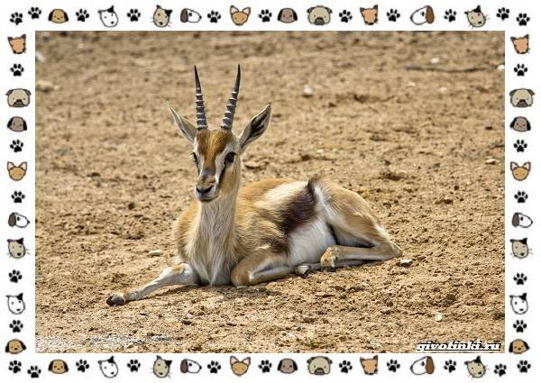 Виды-антилоп-описание-классификация-место-в-экосистеме-19