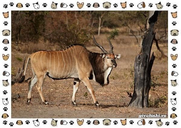 Виды-антилоп-описание-классификация-место-в-экосистеме-2
