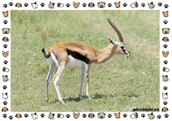 Виды-антилоп-описание-классификация-место-в-экосистеме-20