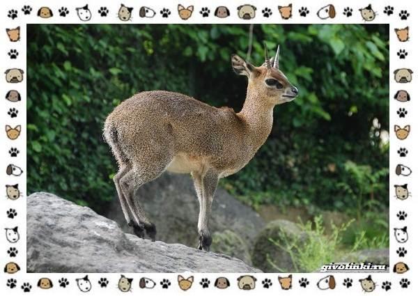 Виды-антилоп-описание-классификация-место-в-экосистеме-21