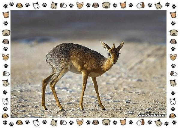 Виды-антилоп-описание-классификация-место-в-экосистеме-23