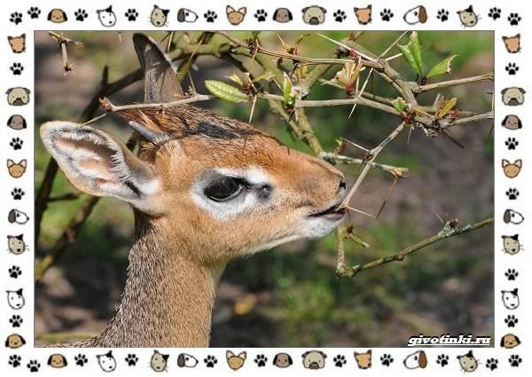 Виды-антилоп-описание-классификация-место-в-экосистеме-24