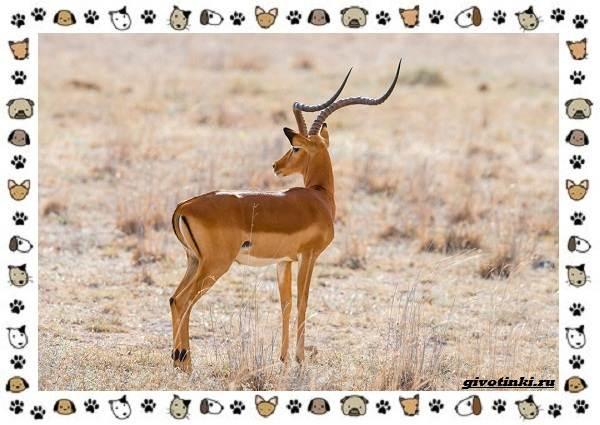 Виды-антилоп-описание-классификация-место-в-экосистеме-25