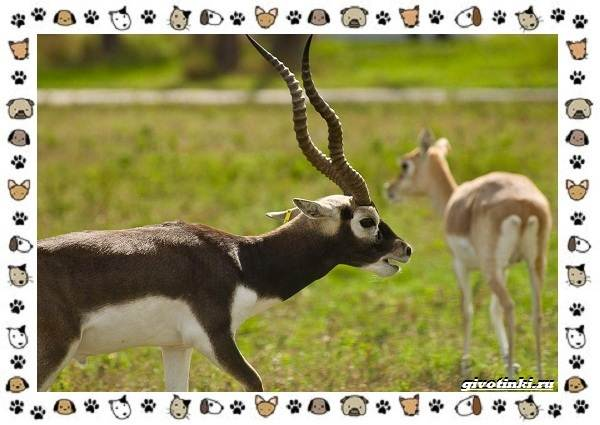 Виды-антилоп-описание-классификация-место-в-экосистеме-31