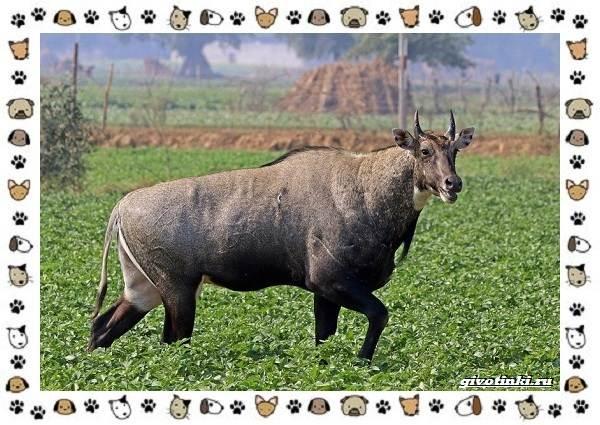 Виды-антилоп-описание-классификация-место-в-экосистеме-32