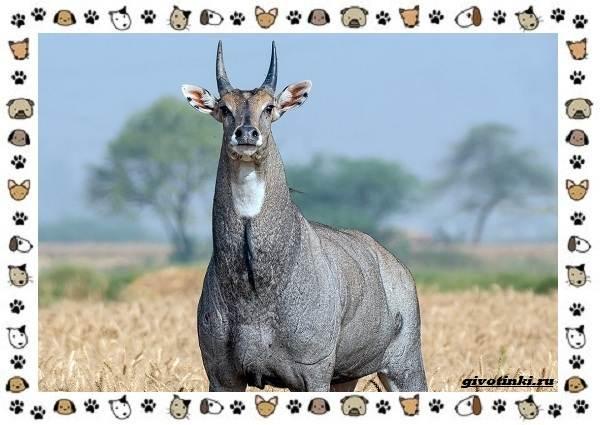 Виды-антилоп-описание-классификация-место-в-экосистеме-34