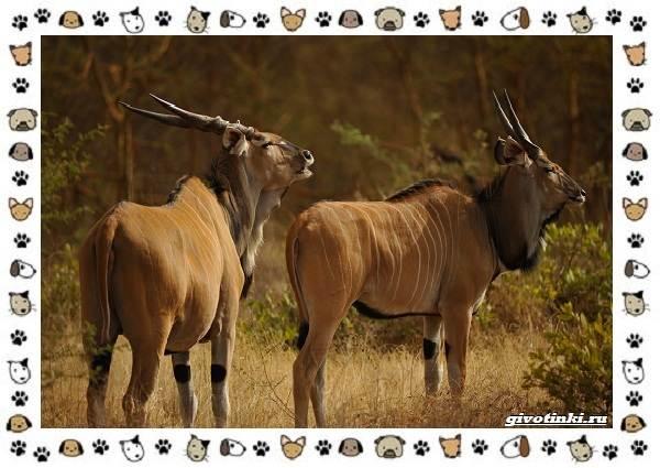 Виды-антилоп-описание-классификация-место-в-экосистеме-4