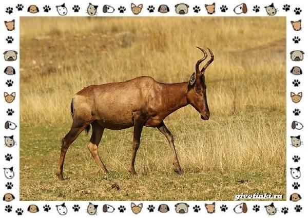 Виды-антилоп-описание-классификация-место-в-экосистеме-6