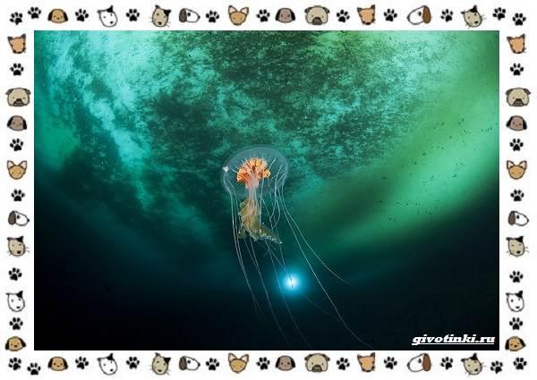 Виды-медуз-описания-названия-образ-жизни-и-среда-обитания-12
