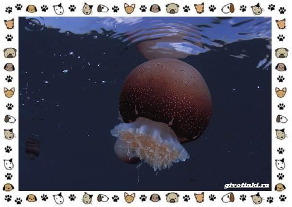 Виды-медуз-описания-названия-образ-жизни-и-среда-обитания-13