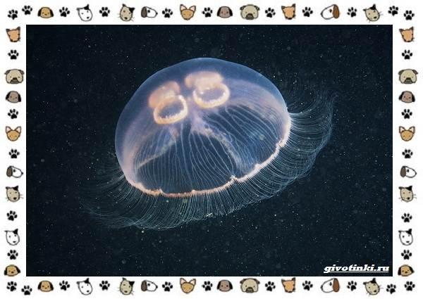 Виды-медуз-описания-названия-образ-жизни-и-среда-обитания-14