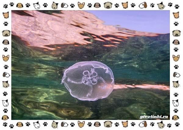 Виды-медуз-описания-названия-образ-жизни-и-среда-обитания-15