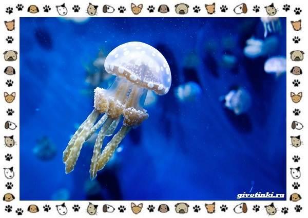 Виды-медуз-описания-названия-образ-жизни-и-среда-обитания-17