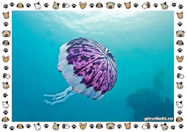 Виды-медуз-описания-названия-образ-жизни-и-среда-обитания-20
