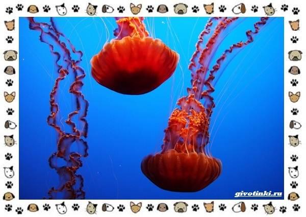 Виды-медуз-описания-названия-образ-жизни-и-среда-обитания-21