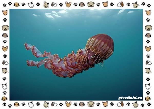 Виды-медуз-описания-названия-образ-жизни-и-среда-обитания-22