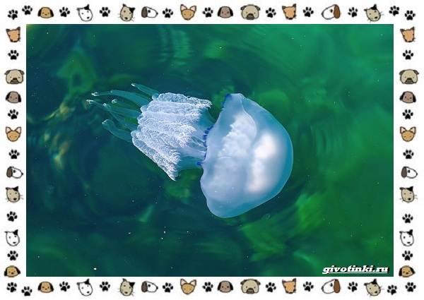 Виды-медуз-описания-названия-образ-жизни-и-среда-обитания-24